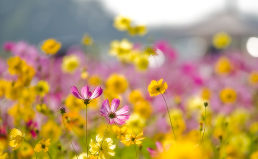 Blooming cosmos flower field on a sunny day in Vancouver